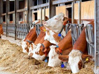Symbolbild Milchvieh- und Rinderhaltung