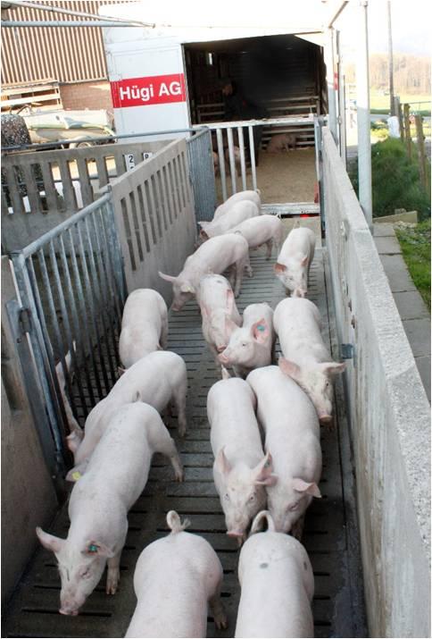 huegi_schweinetransport